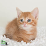 Thunder, Male Domestic Shorthair/Mix
