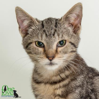 Bruce Lee, Domestic/Shorthair Mix Male