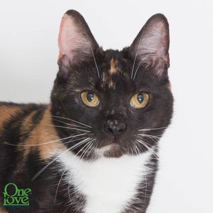 Meet Fantasia, a 2-year old female domestic/shorthair cat
