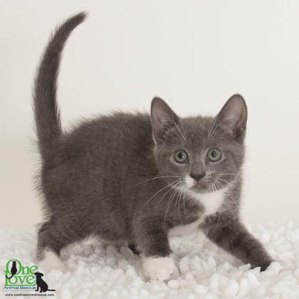 Meet Kreiger, a 4-month old female Domestic Shorthair/Mix