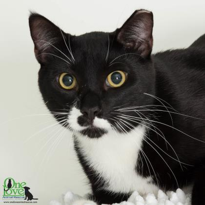 Meet Gamble, a 2 year old male Domestic Shorthair/Mix