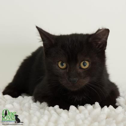 Meet Bunny, a 1 year old male Domestic Shorthair/Mix