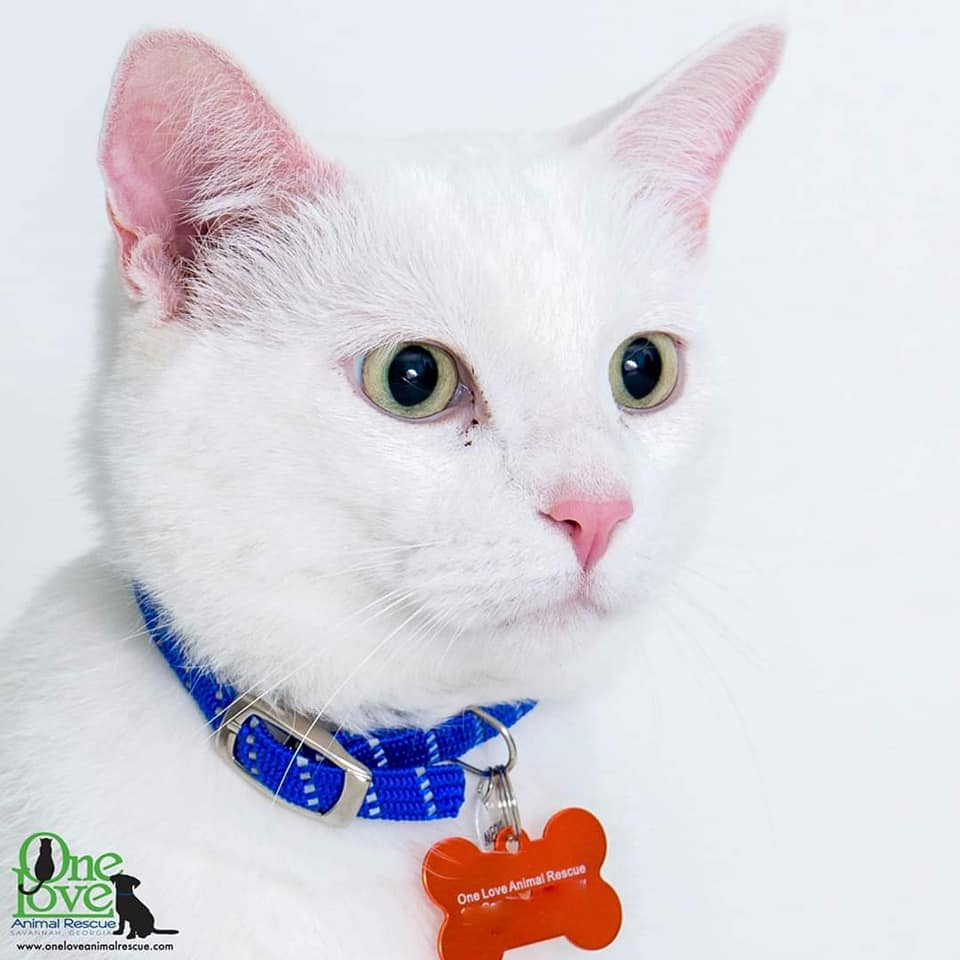 Meet Moe, a 6 year old male Domestic Shorthair/Mix