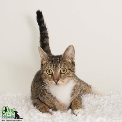 Meet Britannia, a 3-year old female domestic/shorthair cat