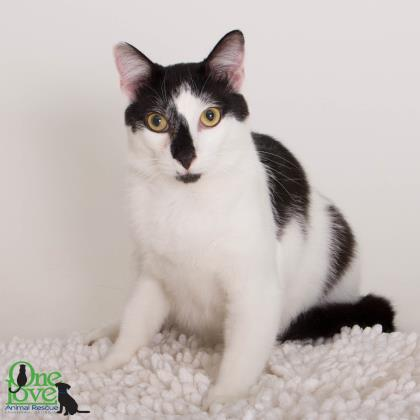 Meet Cypress, a 1 year old female Domestic Shorthair/Mix