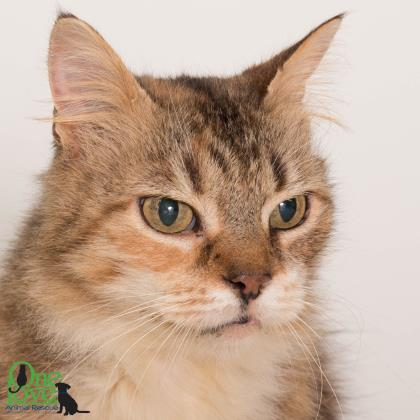 Meet Foxy Loxy, an adoptable feline