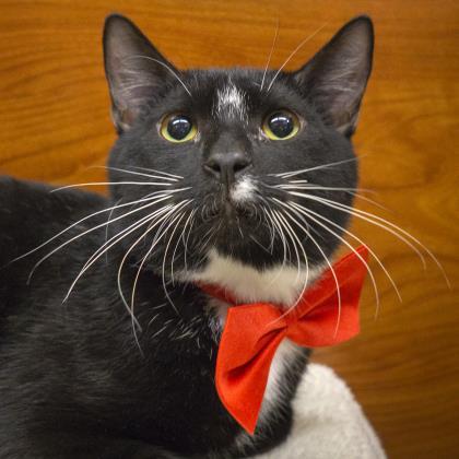Meet Publix, an adoptable feline